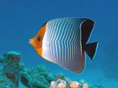 Reef fish Hooded butterflyfish