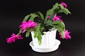pic of schlumbergera  - Blossoming Schlumbergera also known as christmas cactus - JPG