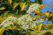 Flowering Shrub. Shrub With White Flowers And Yellow Leaves. White Flowering Bush On Green Field. Cl poster