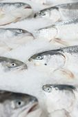 Salmon on cooled market display, closeup shot of heads