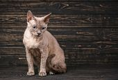 Thoroughbred Cat. Exhibition Of Cats Concept. Beautiful Devonian Rex Cat poster
