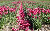 A field of beautiful pink tulips