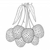 Vector Bunch With Outline Chinese Lychee Or Litchi Fruit And Leaf Isolated On White Background. Pere poster
