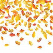 Oak, Maple, Wild Ash Rowan Leaves Vector, Autumn Foliage On White Background. Red Orange Yellow Oak  poster