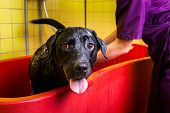Bathing Of The Black Labrador Retriever Dog. Happiness Dog Taking A Bubble Bath poster