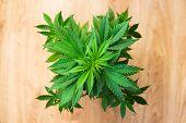 Grow Legal Recreational Marijuana. Home Cannabis Grow Operation. Planting Cannabis. Marijuana Busine poster