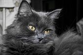 Gray Fluffy Cat Lying On The Couch. poster