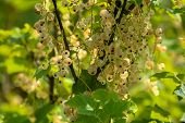 White Currants On Bush Branch. White Currants On Bush. White Currants In Garden. Summer Berries In L poster