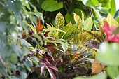 picture of crotons  - Croton  - JPG