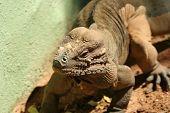 A Rhinoceros Iguana Of Hispaniola