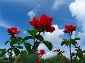 Rose Bush On Blue Sky Background