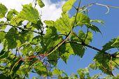 green grape leaves