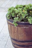 Plant In A Barrel