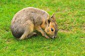 Patagonian Hare
