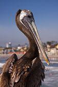 Pelican at the beach