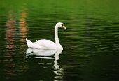 Alone Swan Swimming