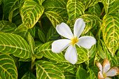 stock photo of champa  - White plumeria flowers drop on leaves background - JPG