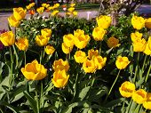picture of angiosperms  - Tulips flower  - JPG