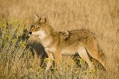 picture of scat  - Coyote looking in dry grass and brush for food - JPG