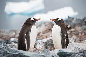 Gentoo Penguins On The Antarctica Beach Near Icebergs