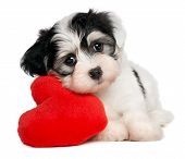image of spotted dog  - A cute lover valentine havanese puppy dog with a red heart isolated on white background - JPG