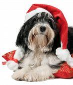 Cute Christmas Havanese Puppy