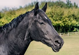 picture of cheval  - Head and shoulders shot of a black stallion horse - JPG