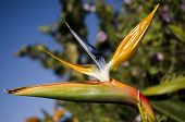 Bird of paradise flowers (Strelitzia)