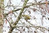 image of alder-tree  - Detailed view of Carduelis spinus feeding over alder tree - JPG