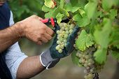 stock photo of prunes  - Pruning grapes - JPG