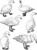 Swans.eps