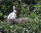 egrets building a nest