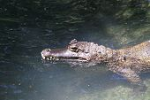 caiman in the water