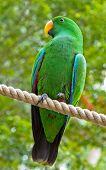 Wild parrot of Australia