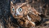 foto of screech-owl  - An Eastern Screech Owl in a hallowed out tree - JPG