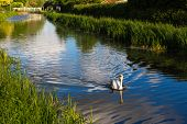 Graceful swan swimming down the centre of a canal and sending out ripples near Taunton Somerset
