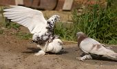 White Pigeons Bird Copulating