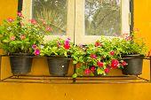 Colorful Vinca Flower In Pots