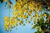 stock photo of vishu  - Ratchaphruek flowers Thailand flowers are held faith beliefs passed down together - JPG