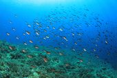 stock photo of damselfish  - Fish in Mediterranean Sea  - JPG