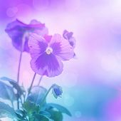 Beautiful purple pansies flowers isolated on blue blurred background, floral border, gentle hearts-e