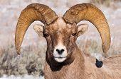 Portrait Of A Bighorn Sheep