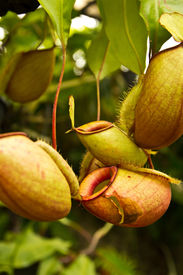 stock photo of nepenthes-mirabilis  - Tropical pitcher plants or Monkey cups in garden - JPG