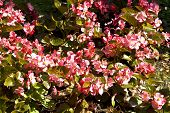 image of begonias  - Flowerbed with flowers begonia of red colour - JPG