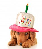 image of scared baby  - A golden retriever puppy wearing a happy birthday hat - JPG