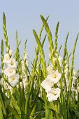 stock photo of gladiola  - Gladiola flowers and blue sky in background - JPG