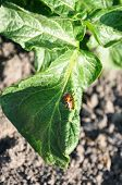 foto of potato bug  - Colorado beetle in a hole of potato leaf - JPG