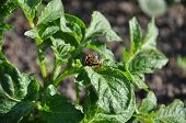 Coitus Of Two Colorado Beetles On Potato