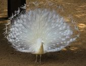 image of peahen  - Close Up Of White Peacock Showing Its White Feathers - JPG