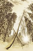 stock photo of backwoods  - Snow covered trees in the backwoods - JPG